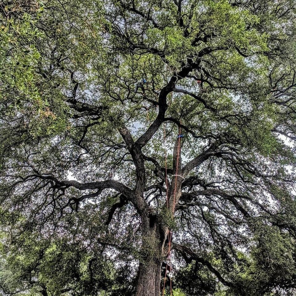2019 Texas Tree Climbing Championship georgetown texas.jpg
